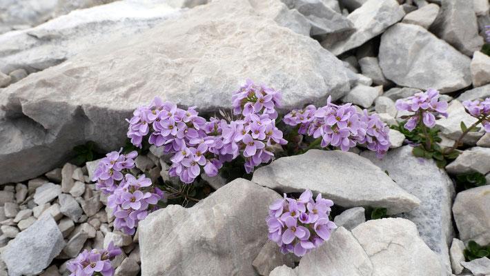Slowenien, Rundblättriges Täschelkraut, thlaspi rotundifolium