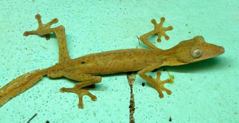 Madagaskar, Gecko