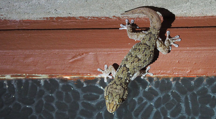 Bibrons Dickfingergecko (Waterberg)