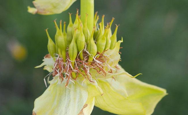 Italien, Vardjan-Enzian, gentiana lutea ssp. vardjanii