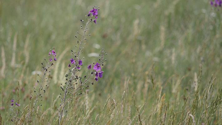 Burgenland, Violette Königskerze, verbascum phoeniceum