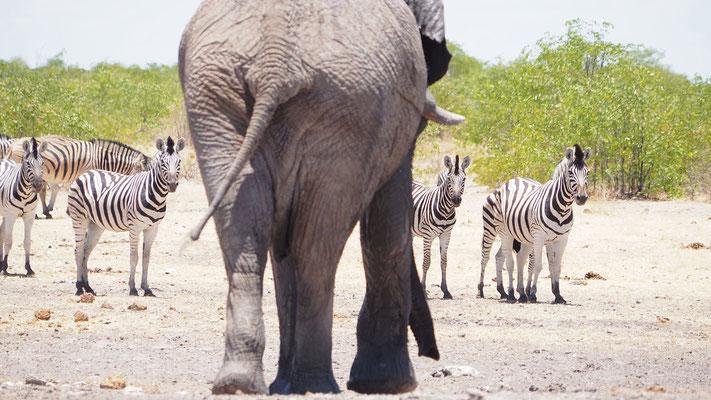Afrikanischer Elefant und Steppenzebras (Etosha)