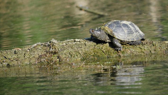 Österreich, Nationalpark Donauauen, Europäische Sumpfschildkröte