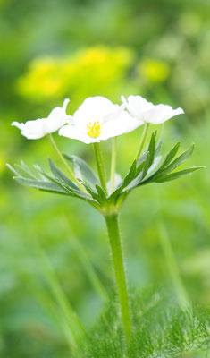 Österreich, Narzissenblütiges Windröschen, anemone narcissiflora