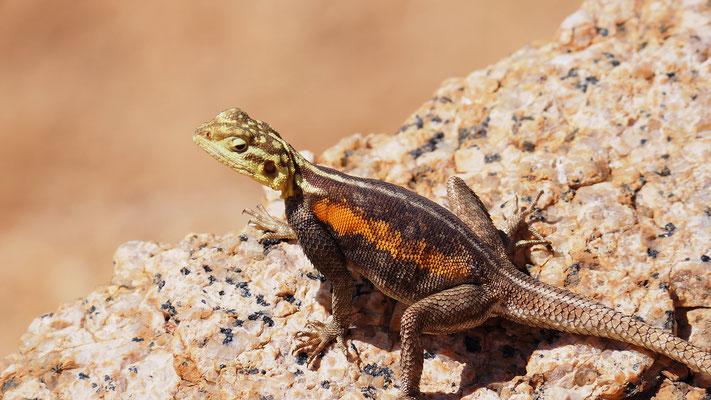 Namibische Felsenagame (Spitzkoppe)