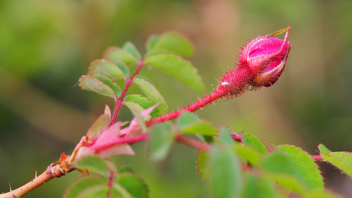 Oberösterreich, Alpen-Heckenrose, rosa pendulina
