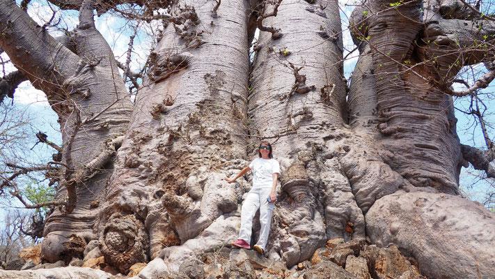 klein ist dieser Baobab nicht gerade
