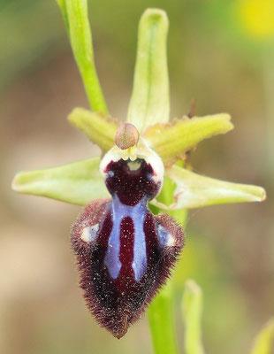 Schwarze Ragwurz, ophrys incubacea