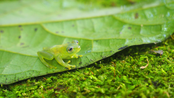 Costa Rica, Glasfrosch