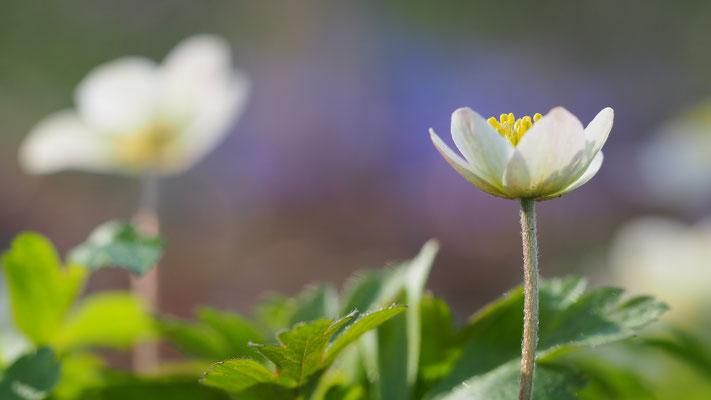 Oberösterreich, Buschwindröschen, anemone nemorosa
