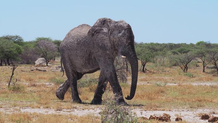 Afrikanischer Elefant (Etosha)