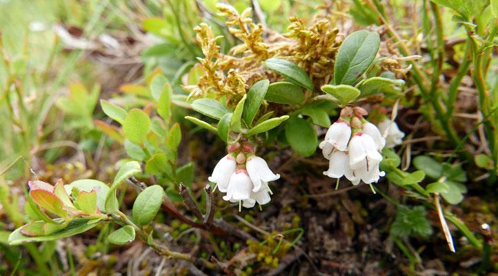 Tirol, Heidelbeere, vaccinium myrtillus