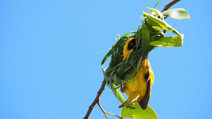Maskenweber beim Nestbau