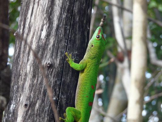 Madagaskar, Taggecko