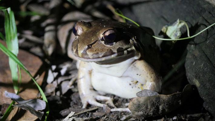 Costa Rica, Wilder Dünnzehenfrosch