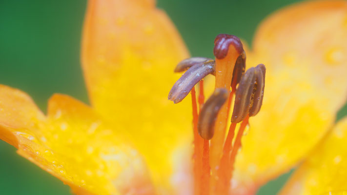 Oberösterreich, Feuerlilie, lilium bulbiferum