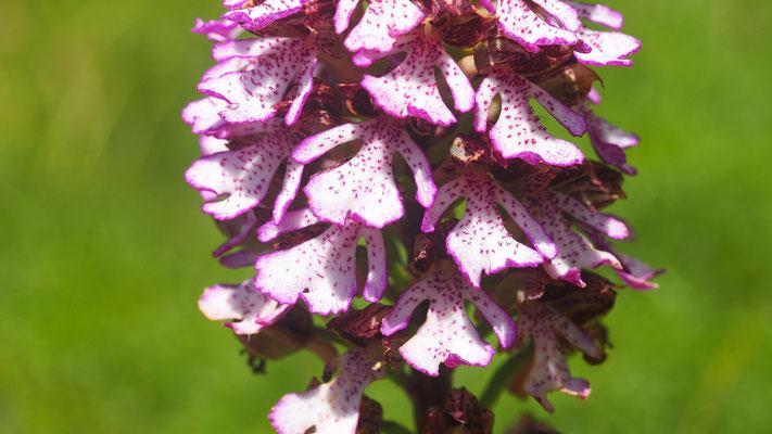 Purpur-Knabenkraut, orchis purpurea (Italien)