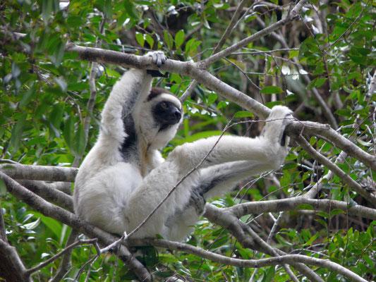 Madagaskar, Larven-Sifaka