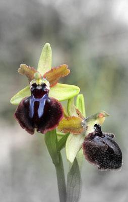 Gargano-Ragwurz, ophrys garganica