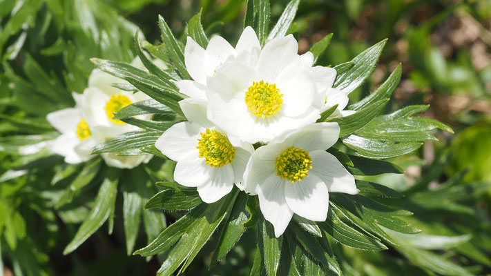 Steiermark, Alpen-Berghähnlein oder Narzissen-Windröschen, anemone narcissirflora