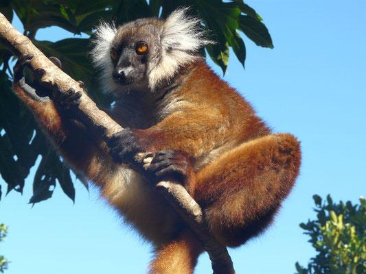Madagaskar, Mohrenmaki (Weibchen)