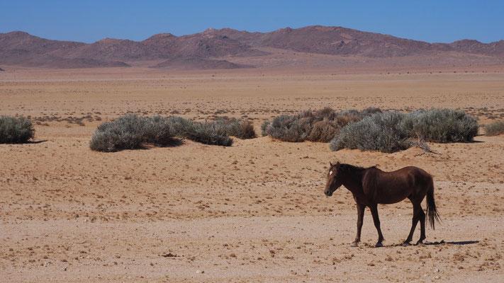 die Wildpferde (eigentlich verwilderte Hauspferde) der Namib