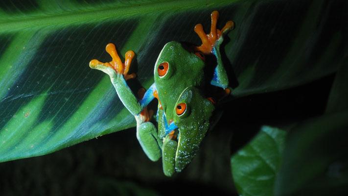 Costa Rica, Rotaugenfrosch Pärchen (er: kleiner)