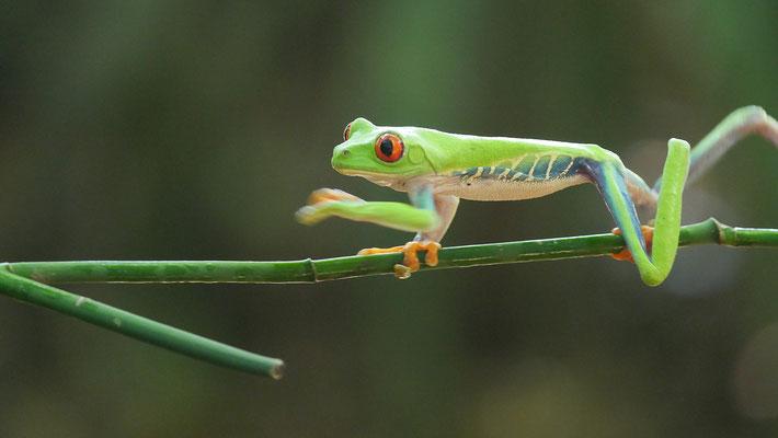 Costa Rica, Rotaugenfrosch