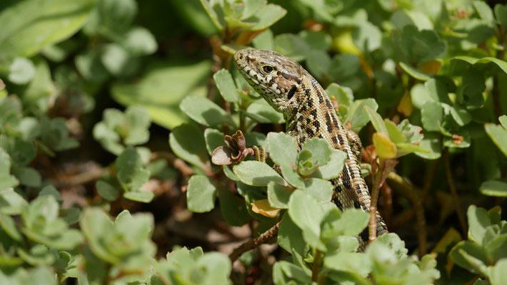 Österreich, Zauneidechse (Weibchen)