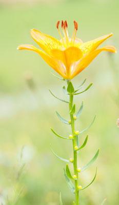 Österreich, Feuerlilie, lilium bulbiferum
