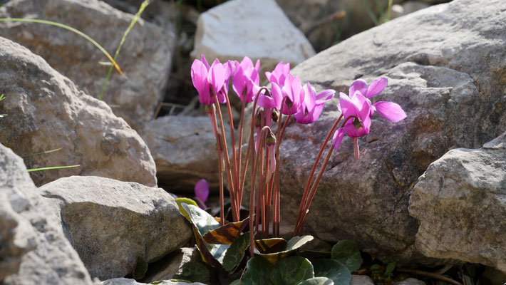 Italien, Efeublättriges Alpen-Veilchen, cyclamen hederifolium