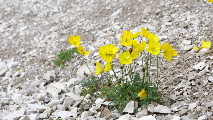 Italien, Kerners Alpen-Mohn, papaver alpinum ssp. kerneri