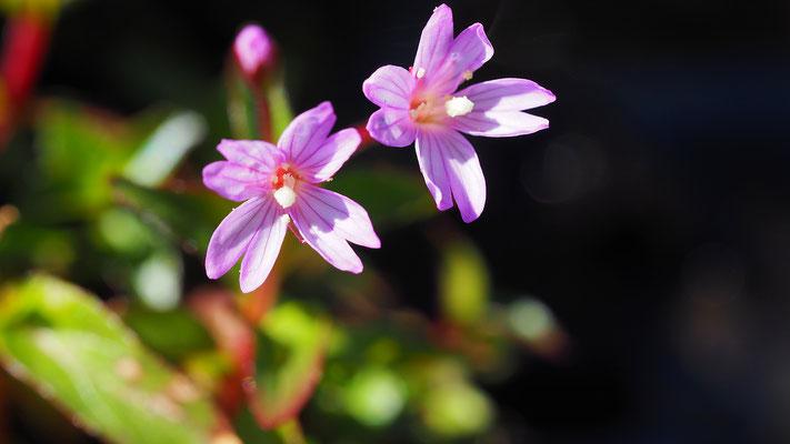 Steiermark, Gauchheilblättriges Weidenröschen, epilobium anagalidifolium