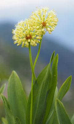 Allermannsharnisch, allium victoralis