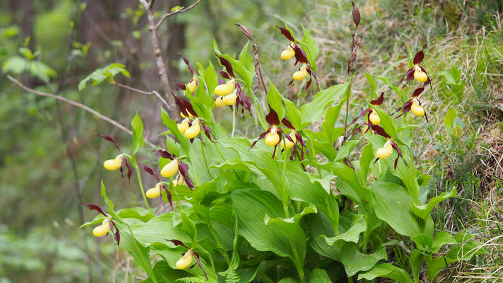 Gelber Frauenschuh, cypripedium calceolus