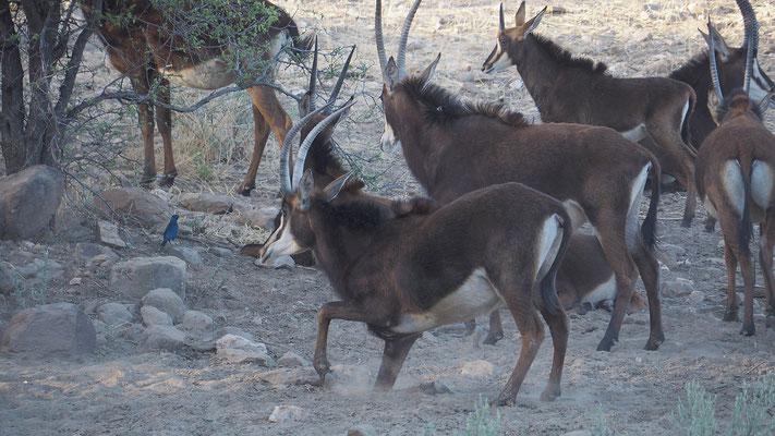 Rappenantilopen (Düsternbrook)