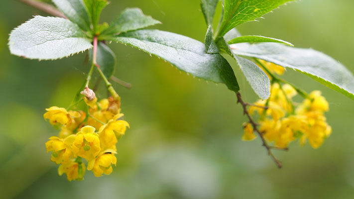 Oberösterreich, Gewöhnliche Berberitze, berberis vulgaris