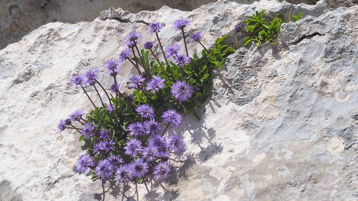 Kroatien, Herzblättrige Kugelblume, globularia cordifolia