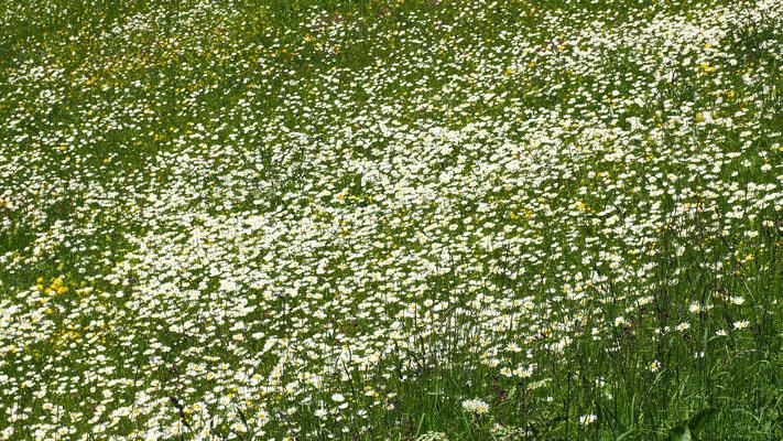 Oberösterreich, Blumenwiese im Nationalpark Kalkalpen