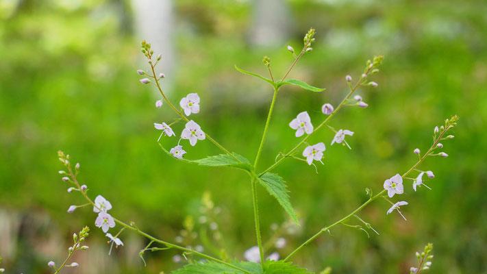 Oberösterreich, Nesselblättriger Ehrenpreis, veronica urticifolia