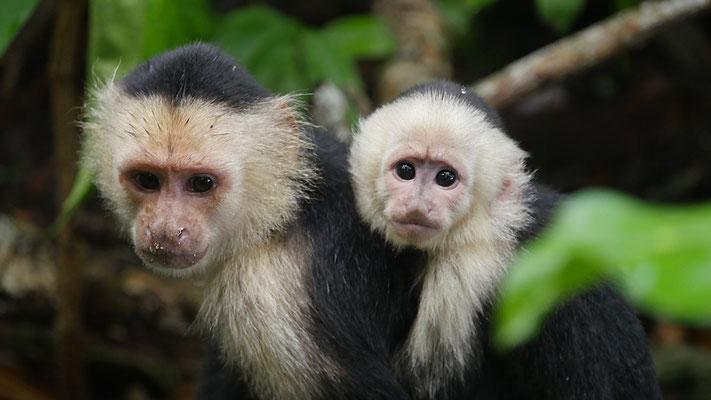 Costa Rica, Weißschulter-Kapuzineraffe