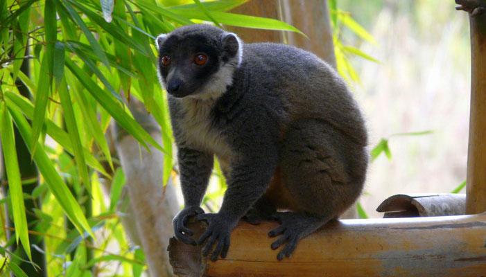 Madagaskar, Schwarzkopfmaki