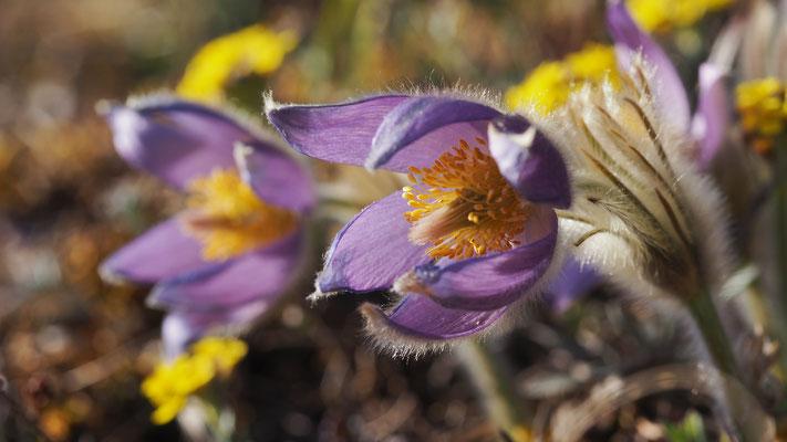 Niederösterreich, Große Kuhschelle, pulsatilla grandis mit Berg-Steinkraut (alyssum montanum)