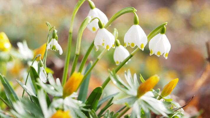Oberösterreich, Frühlings-Knotenblume, leucojum vernum