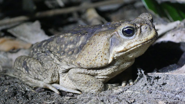 Costa Rica, Aga-Kröte