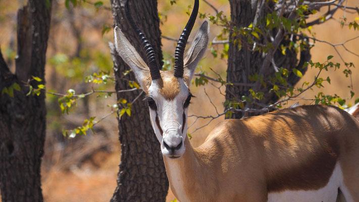 Springbock (Etosha)