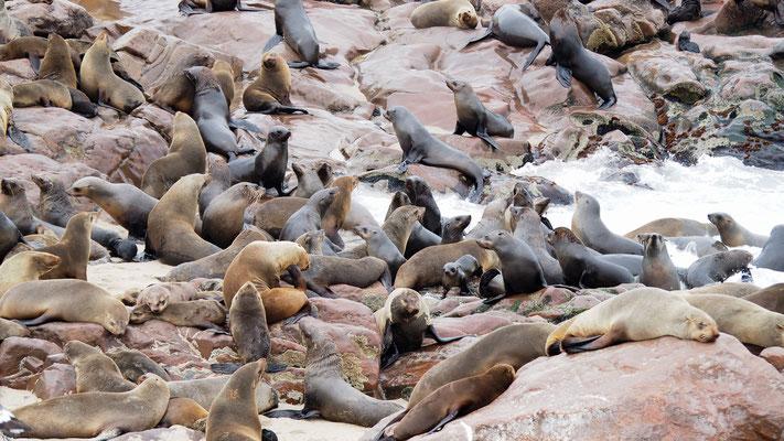 Afrikanische Seebären (Cape Cross)