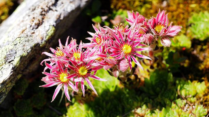 Steiermark, Steirische Berg-Hauswurz, sempervivum montanum ssp. stiriacum
