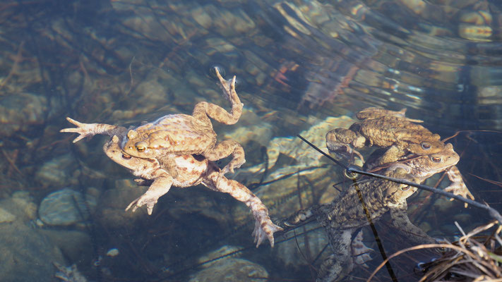 Österreich, Erdkröten