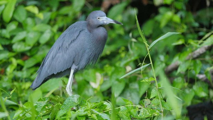Blaureiher in Costa Rica